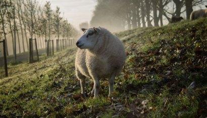 oveja sola