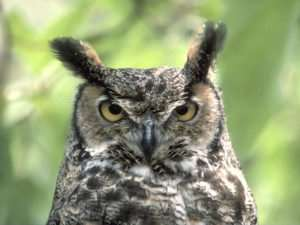Great-Horned-Owl-300x225
