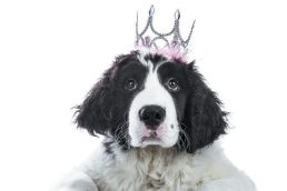 dog-with-crown-600x400