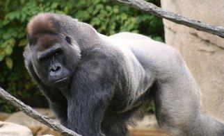Silverback_gorilla_by_sarajeku